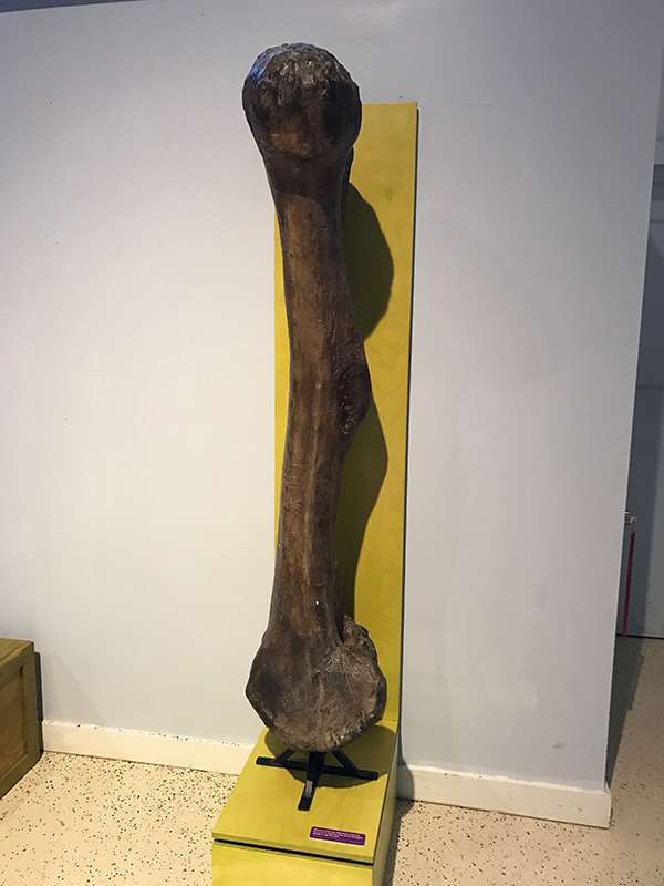Apatosaurus Femur Bone